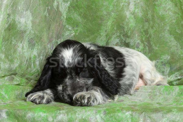 Blauw Engels Puppy Zwart Wit Groene Schoonheid