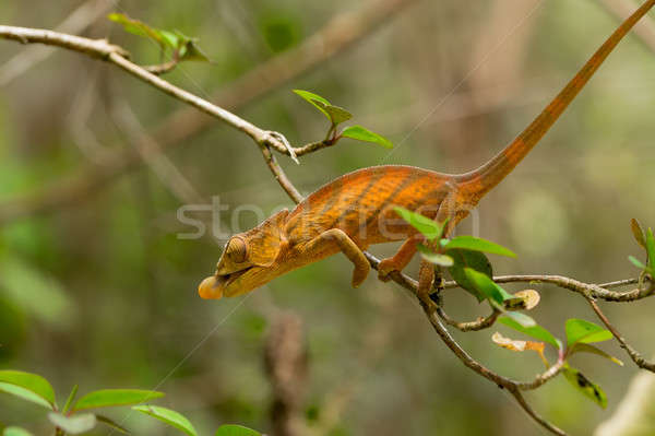 Stock photo: Parson's chameleon (Calumma parsonii)