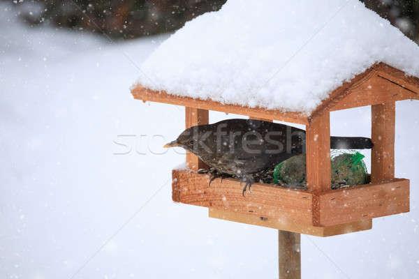 Blackbird simple oiseau Homme maison Photo stock © artush