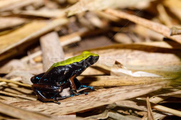 żaba wspinaczki Madagaskar przyrody gatunek mały Zdjęcia stock © artush