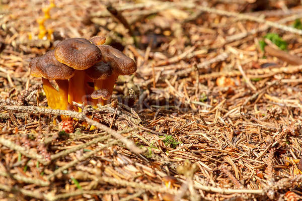 Mushrooms founded in summer forrest Stock photo © artush