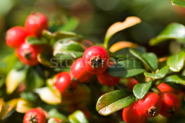 autumn background with red gaultheria Stock photo © artush