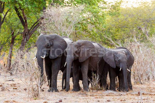 Stok fotoğraf: Afrika · filler · yeşil · çalı · oyun