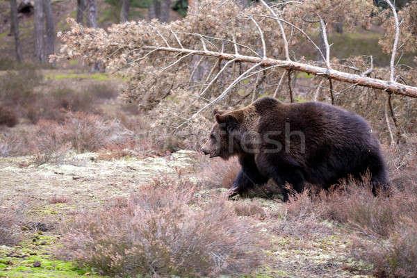 Bruine beer winter bos groot mannelijke Europa Stockfoto © artush