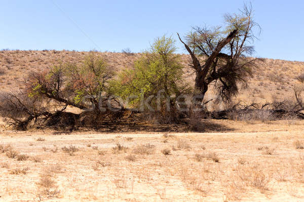 Stock photo: African masked weaver nest on kgalagadi