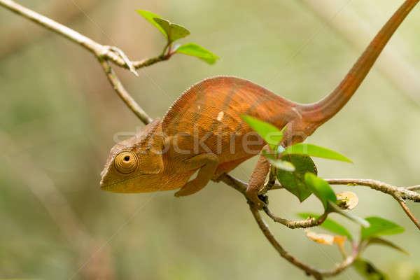 Camaleão grande espécies pequeno ramo espera Foto stock © artush