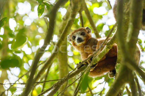 crowned lemur Ankarana National Park, Madagascar Stock photo © artush
