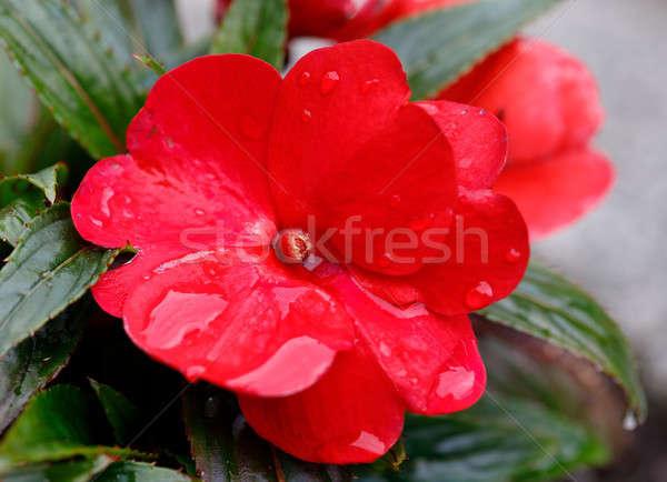 Vermelho novo flores verão jardim primavera Foto stock © artush