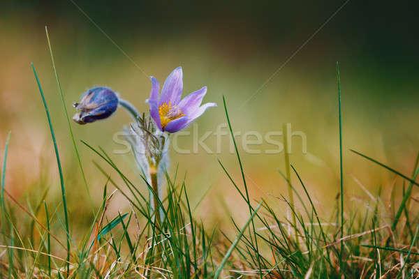 spring flower Pulsatilla pratensis (small pasque flower) Stock photo © artush