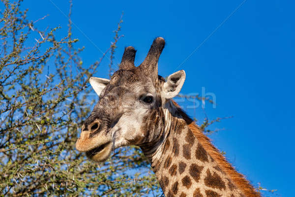 Dél-afrikai zsiráf Afrika vadvilág szafari részlet Stock fotó © artush