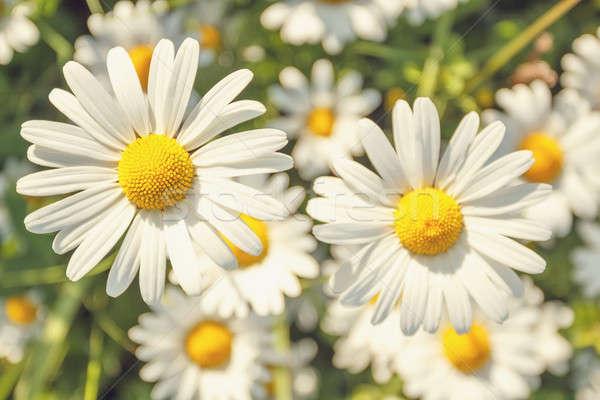 daisy flower field with shallow focus Stock photo © artush
