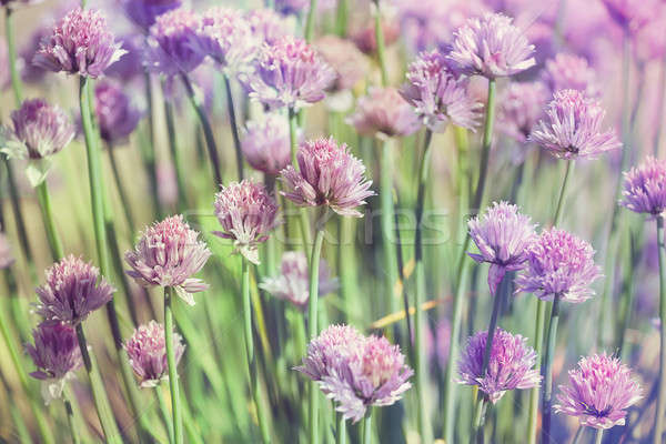 Chive herb flowers on beautiful bokeh background pastel colors Stock photo © artush