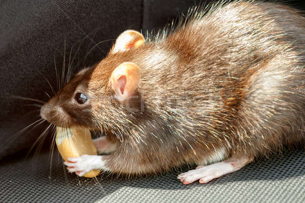 rat eating cake Stock photo © artush
