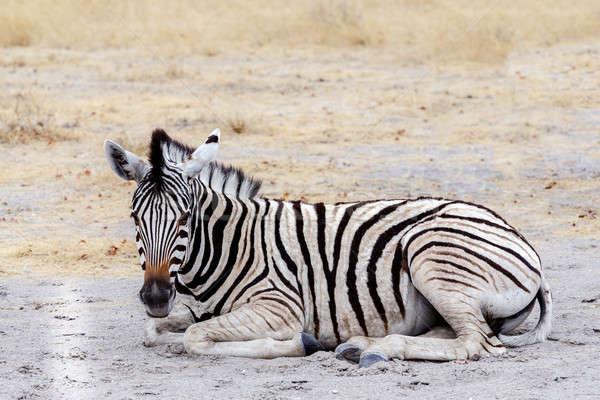Fiatal zebra afrikai bokor park Namíbia Stock fotó © artush