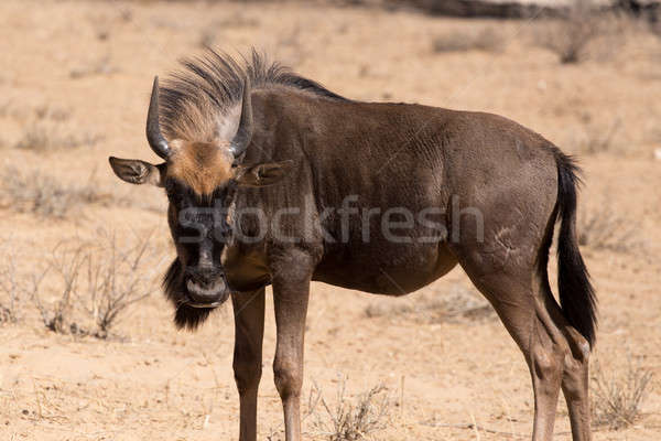 wild (Connochaetes taurinus) Blue Wildebeest Stock photo © artush
