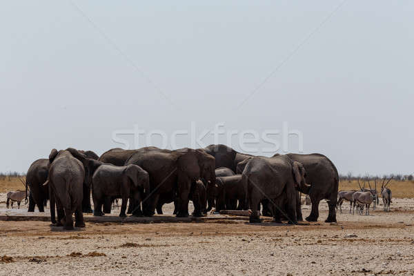 crowded waterhole with Elephants Stock photo © artush