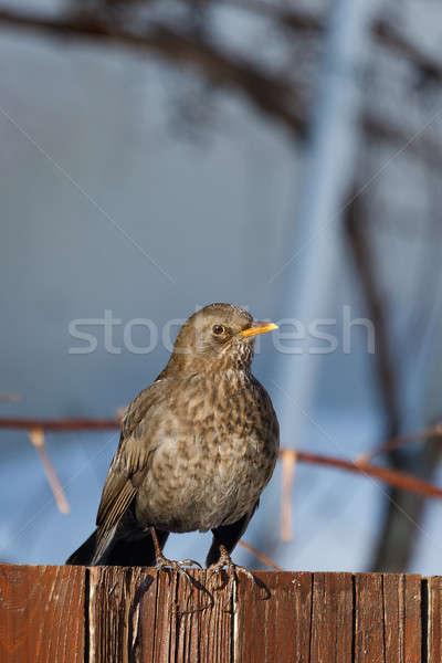 Femenino mirlo aves invierno jardín día Foto stock © artush