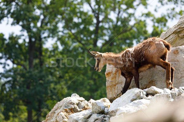 Male chamois at the mountain hill Stock photo © artush