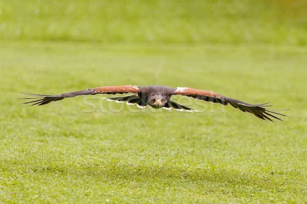 trained bird falcon flying in nature Stock photo © artush