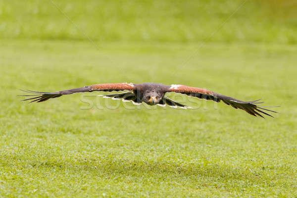 Képzett madár sólyom repülés természet környezet Stock fotó © artush