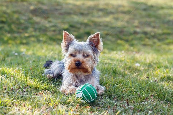 Foto stock: Cute · pequeño · yorkshire · terrier · verde · césped