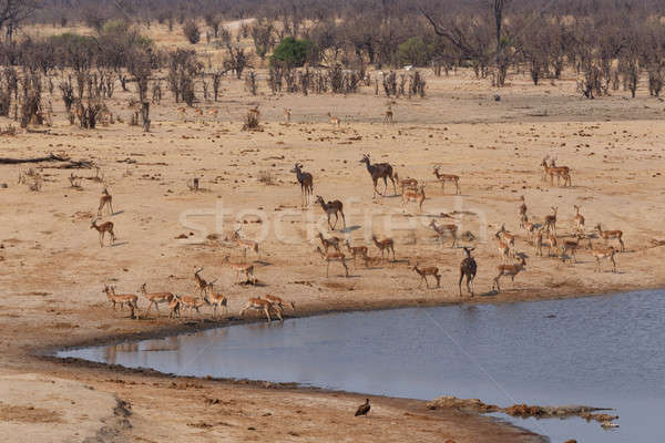herd of Antelope drinking at a muddy waterhole Stock photo © artush