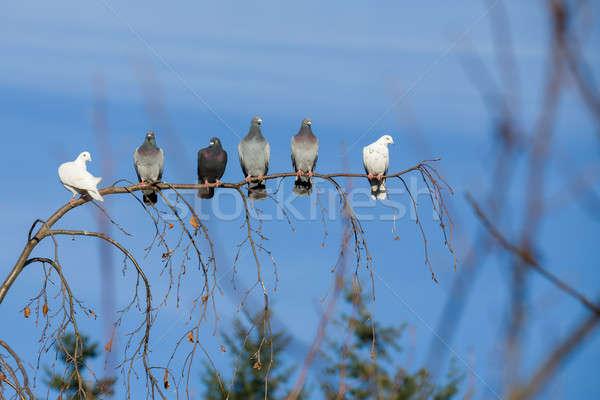 pigeons sitting on the branch Stock photo © artush