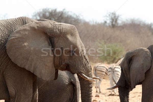 Afryki słonie parku Namibia przyrody fotografii Zdjęcia stock © artush