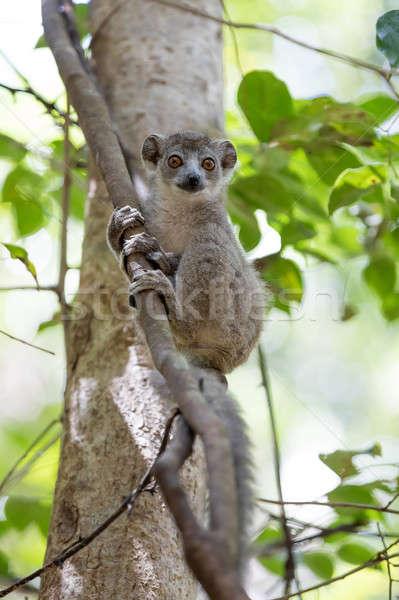 baby of crowned lemur Ankarana National Park Stock photo © artush