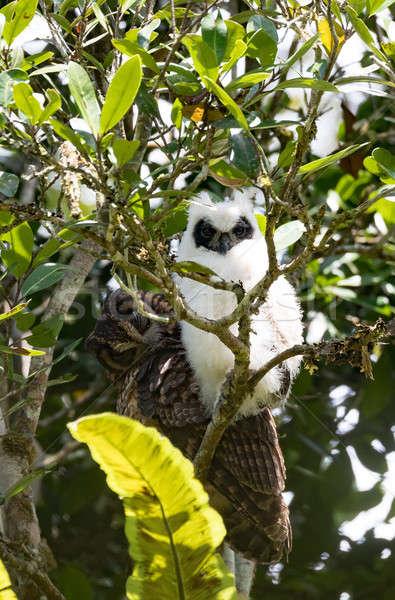 Madagascar oiseau chouette chiches parc faune Photo stock © artush