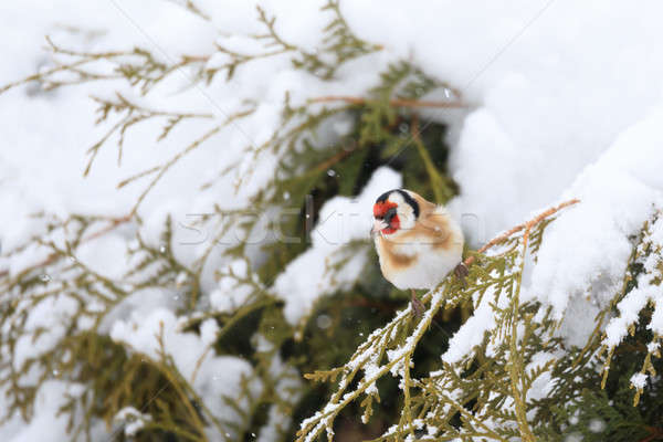 small bird European goldfinch in winter Stock photo © artush