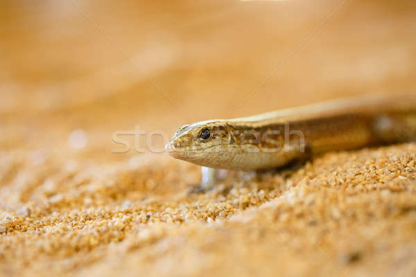 Madagascar girdled lizard, madagascar wildlife Stock photo © artush