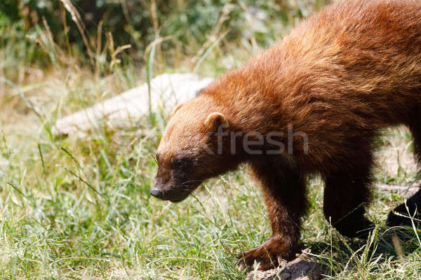 Wolverine (Gulo gulo) Stock photo © artush