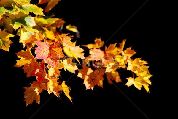 Orange autumn leaves background on black Stock photo © artush