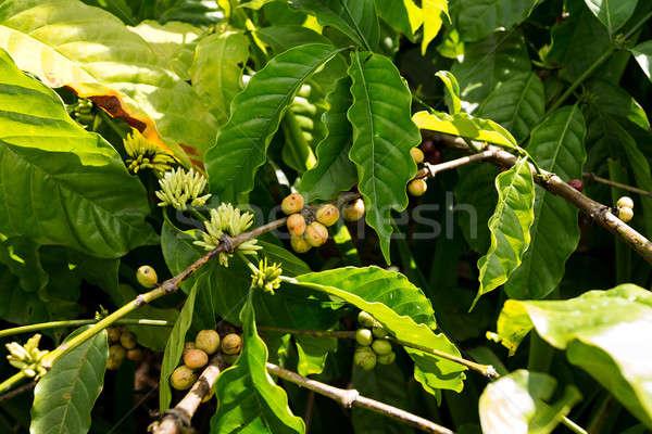 raw coffe plant in agricultural farm Stock photo © artush