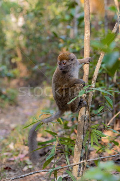 Stock photo: Eastern lesser bamboo lemur (Hapalemur griseus)
