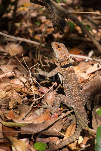 collared iguanid lizard, madagascar Stock photo © artush