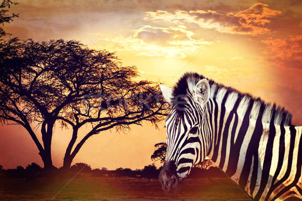 Zebra portrait on african sunset with acacia background. Africa safari Wildlife concept Stock photo © artush