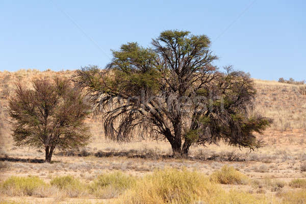 Dry kalahari desert landscape, Kgalagady, South Africa safari wilderness Stock photo © artush