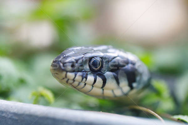 grass snake (Natrix natrix) close up Stock photo © artush