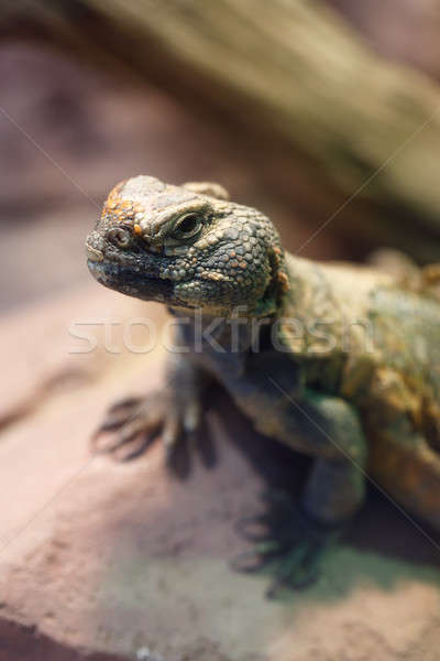 Uromastyx is a genus of African and Asian agamid lizards Stock photo © artush