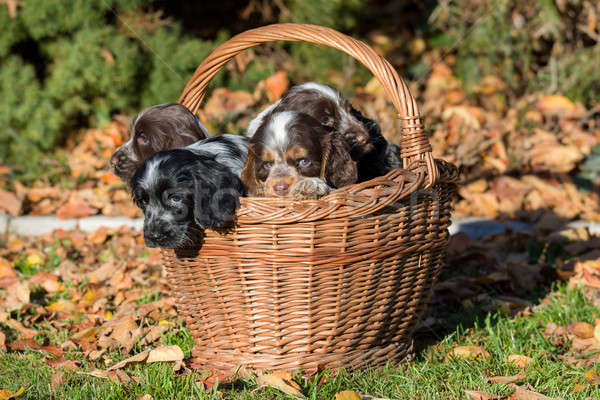 Stock photo: English Cocker Spaniel puppy in basket