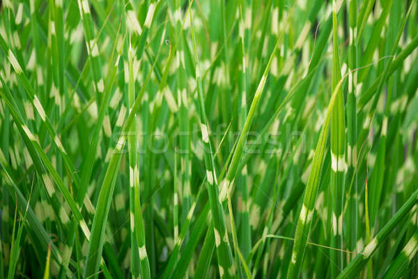 stripped green ornamental grass background Stock photo © artush