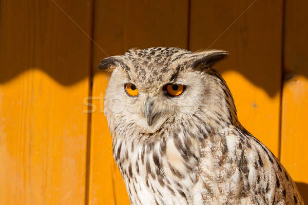 Eurasian Eagle Owl (Bubo bubo) Stock photo © artush