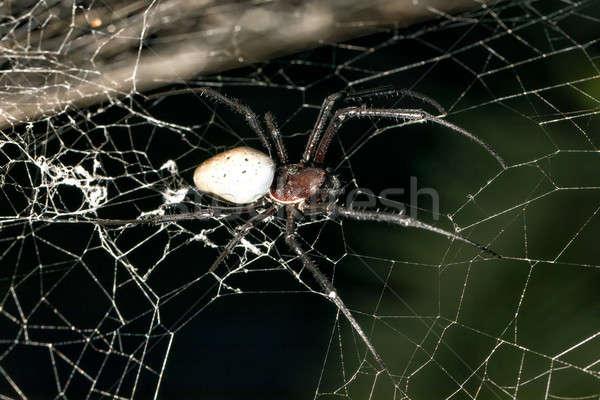 big white spider Nephilengys livida Madagascar Stock photo © artush