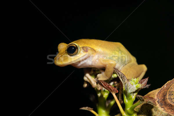 Beautiful frog Boophis rhodoscelis Madagascar Stock photo © artush