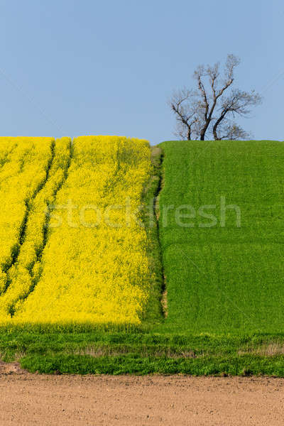 Stock photo: Yellow and green spring field in countryside