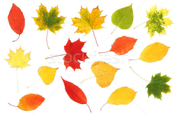 collection of beautiful colourful autumn leaves Stock photo © artush