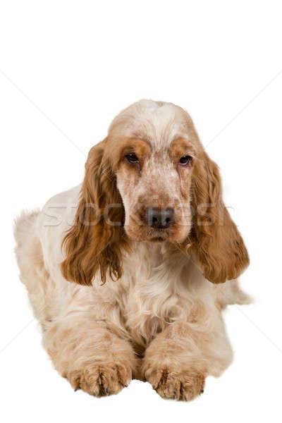 isolated portrait of english cocker spaniel Stock photo © artush