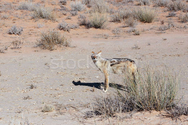 black-backed jackal (Canis mesomelas) lying in Etosha park Stock photo © artush